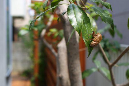 竣工前、以前の庭から残した金木犀に蝉の抜け殻が